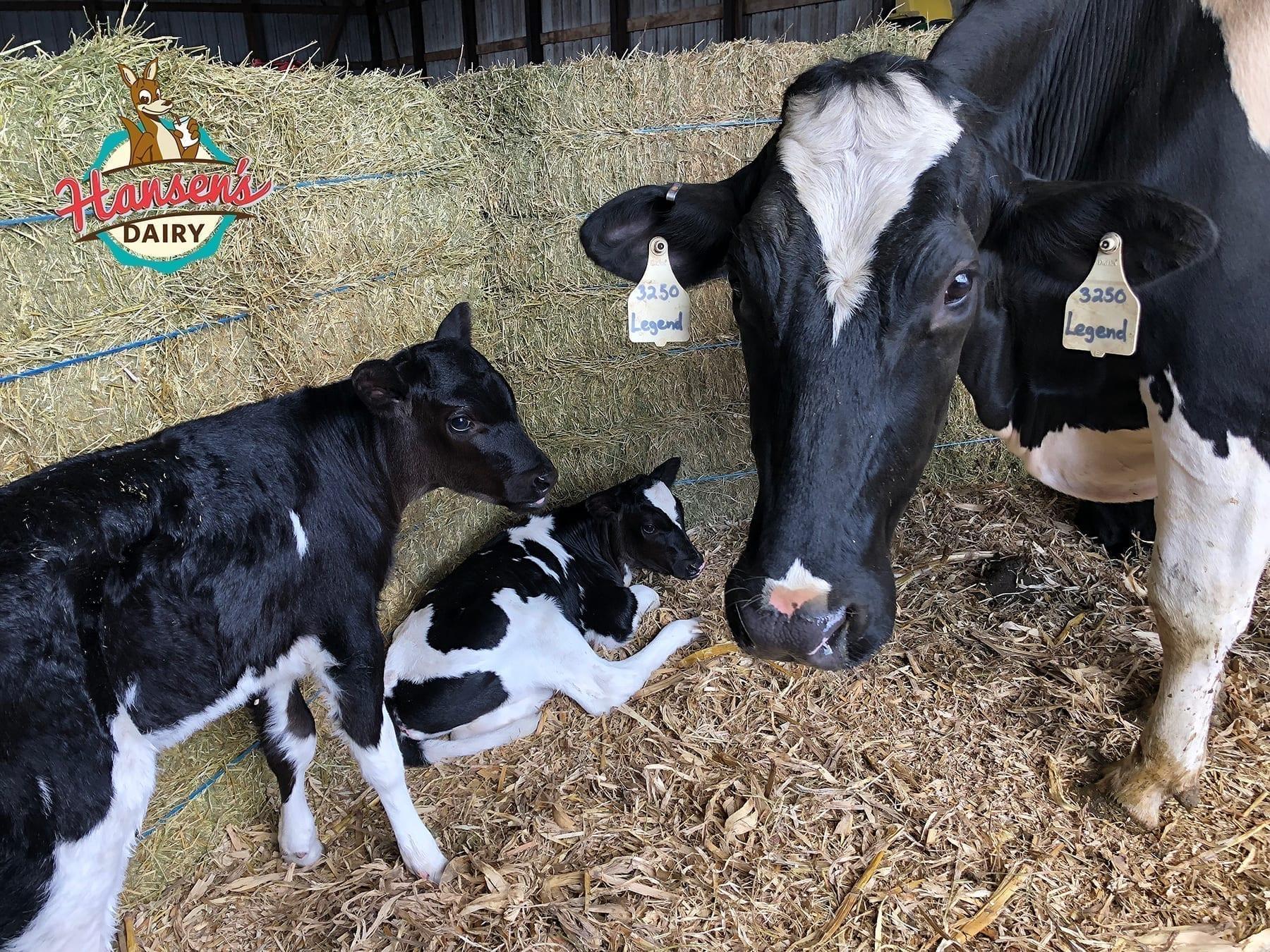 HansenDairy-HolsteinTriplets1